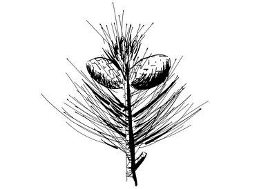 Joka-Materialkunde-Zeichnung-Zirbe